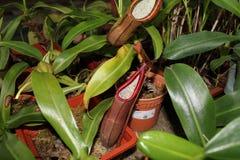także gdy filiżanka znać w okolicy małpia dzbaneczników miotacza roślina Fotografia Stock