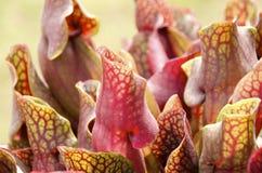 także gdy filiżanka znać w okolicy małpia dzbaneczników miotacza roślina Obraz Stock