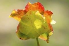 także gdy filiżanka znać w okolicy małpia dzbaneczników miotacza roślina Obraz Royalty Free