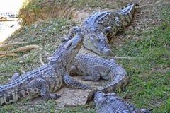 także może krokodyla krokodyli gospodarstwo rolne lokalizować Pattaya przedstawienie Thailand zegarek ty Fotografia Royalty Free
