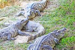 także może krokodyla krokodyli gospodarstwo rolne lokalizować Pattaya przedstawienie Thailand zegarek ty Obraz Royalty Free