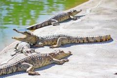 także może krokodyla krokodyli gospodarstwo rolne lokalizować Pattaya przedstawienie Thailand zegarek ty Zdjęcie Stock