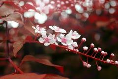 Tak die met rode bladeren in de lente bloeien Stock Afbeelding