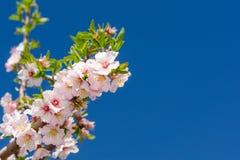 Bos van de lente roze bloei Royalty-vrije Stock Afbeelding