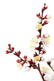 Tak met abrikoos bloeien geïsoleerd op de witte achtergrond Stock Foto