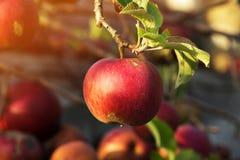 Tak met appelen Bij de de herfstboom, hang rijpe en sappige appl Stock Fotografie
