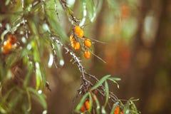 Tak met bessen van duindoorn en groene bladeren Royalty-vrije Stock Fotografie