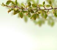 Tak met bladeren sluit omhoog Groen en Blauw Stock Foto