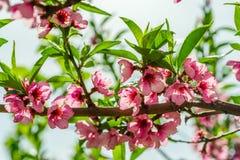 Tak met bloeiende roze bloemen van kersenboom stock afbeelding