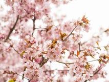 Tak met bloesems Sakura Royalty-vrije Stock Foto