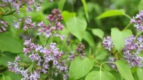 Tak met de lente lilac bloemen