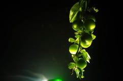 tak met dichte omhooggaand groene van de kersenpruim (Alycha) op een donkere achtergrond met rookeffect De de lentetijd… nam blad Royalty-vrije Stock Fotografie