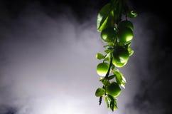 tak met dichte omhooggaand groene van de kersenpruim (Alycha) op een donkere achtergrond met rookeffect De de lentetijd… nam blad Royalty-vrije Stock Foto