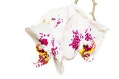 Tak met drie bevlekte orchideebloemen royalty-vrije stock afbeeldingen