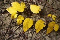 Tak met gele bladeren Royalty-vrije Stock Afbeeldingen