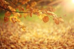 Tak met gele bladeren autmn Stock Afbeeldingen