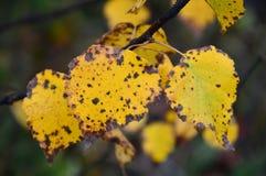 Tak met gele bladeren van espen De inzameling van de herfst Kleurrijke pompoen op de lijst Stock Afbeeldingen