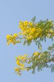 Tak met gele bloemen Stock Afbeeldingen