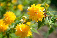 Tak met gele bloemen Kerry Japanese Stock Afbeelding
