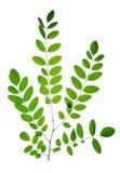 Tak met groen blad van Acacia of Zwarte Sprinkhaan stock foto