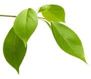 Tak met groene bladeren Royalty-vrije Stock Foto's
