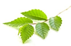 Tak met groene bladeren Royalty-vrije Stock Afbeelding