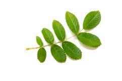Tak met groene bladeren die op witte achtergrond worden geïsoleerdH Stock Foto