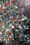 Tak met groene bladeren en rode bessen stock foto