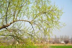 Tak met jonge bladeren op een achtergrond van een landbouwbedrijf Royalty-vrije Stock Afbeelding