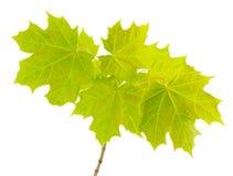 Tak met jonge bladeren van de esdoorn. Royalty-vrije Stock Foto's