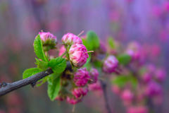 Tak met kleine roze bloemen, bloemen in de tuin bij de lente Royalty-vrije Stock Foto's