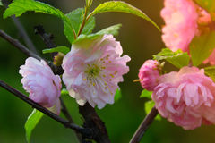 Tak met kleine roze bloemen, bloemen in de tuin bij de lente Stock Foto