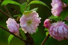 Tak met kleine roze bloemen, bloemen in de tuin bij de lente Stock Fotografie