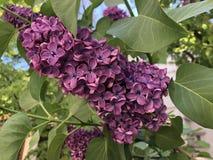 Tak met mooie de lente lilac bloemen royalty-vrije stock foto's