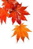 Tak met natte rode bladeren van een esdoorn na een regen Royalty-vrije Stock Foto
