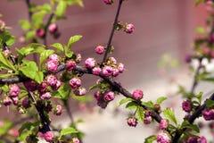 Tak met ontluikende roze knoppen Royalty-vrije Stock Foto's