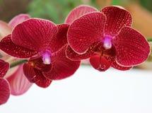 Tak met orchideebloemen Royalty-vrije Stock Afbeeldingen