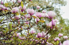 Tak met purpere magnolia's Stock Foto