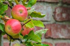 Tak met rode appelen in een boomgaard stock foto