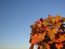 Tak met rode bladeren Zonnige de herfstdag stock fotografie