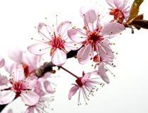 Tot bloei komende boomtak met roze bloemen stock foto's