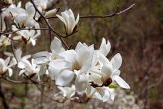 Tak met tot bloei komende bloemen van witte magnolia op de vage donkere achtergrond Royalty-vrije Stock Fotografie