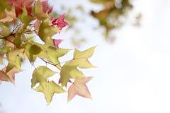 Tak met verse bladesdoorn Royalty-vrije Stock Afbeeldingen