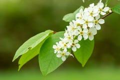 Tak met witte bloemen Stock Foto's