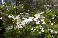 Tak met witte bloemen Royalty-vrije Stock Foto's