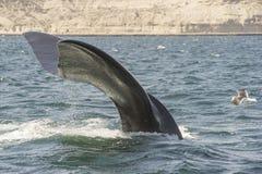 tak południowego wieloryb Obraz Royalty Free