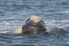 tak południowego wieloryb Zdjęcia Royalty Free