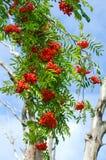Tak rode die as, met bossen van rijpe bessen wordt uitgestrooid royalty-vrije stock afbeelding