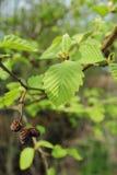 Tak van Alnus-glutinosa in de lente Royalty-vrije Stock Foto