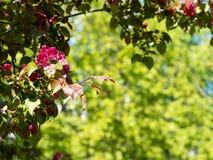 Tak van appelbloesems Royalty-vrije Stock Foto